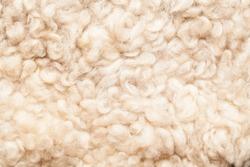 Sheep fur. Wool texture. Closeup background