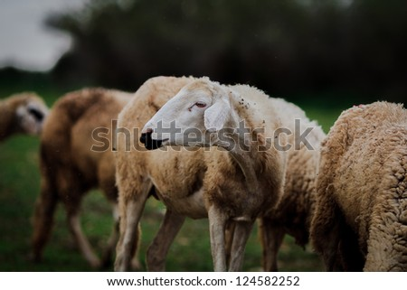 Sheep graze with closeup head