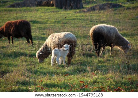 Sheep grazing and browsing on glade at sunset. Cute little white lamb looks at camera. Innocence and childhood concept. #1544795168