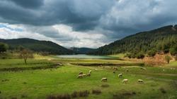 Sheep grazing at the edge of the Demirtas Dam, Bursa - Turkey