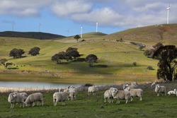 Sheep grazing below the Blayney to Carcoar windfarm, Central West NSW.  The distant fields have cattle grazing.  Focus to foreground