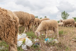 Sheep grazing in a meadow full of rubbish. Concept of environmental pollution, danger to animals. Let's save the world.
