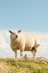 Sheep grazing in field of grass. Dike. Blue cloudy sky. Wadden island. Texel. The Netherlands.