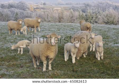 Sheep grazing in frozen landscape