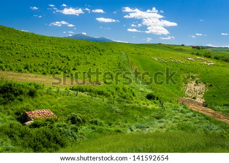 Sheep Grazing in Rolling Tuscany Landscape