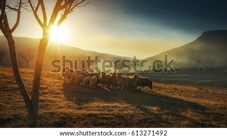 Sheep grazing, in the background sunset