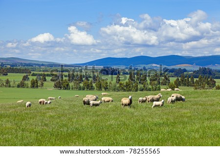 Sheep grazing in the fields of New Zealand