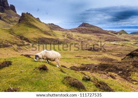 Sheep grazing in the highlands of Scotland