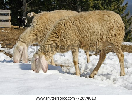 sheep grazing in the mountains in the snow in search of grass to eat