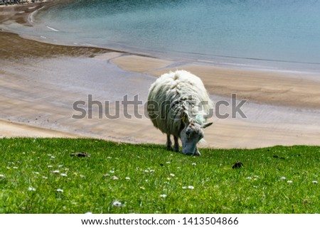 Sheep grazing in the pastures and Irish cliffs. #1413504866