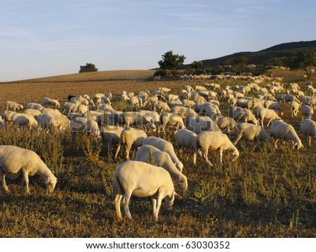 sheep grazing in the reserve of the biosphere Bardenas in Navarra, Spain..