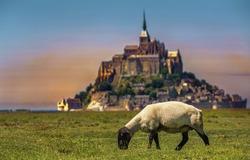 Sheep Grazing Near Saint Michael's Mount, Normandy, France