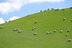 Sheep Grazing on a Green Hillside