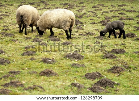 Sheep grazing on a meadow.