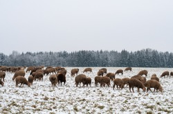 sheep grazing on a pasture covered with snow in swabian alb in winter