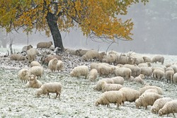 Sheep grazing on a snowy meadow
