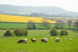 Sheep grazing on a springtime landscape.