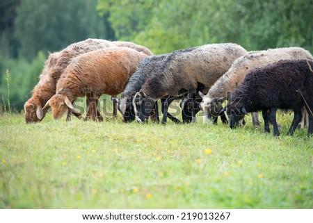 Sheep grazing on grass land
