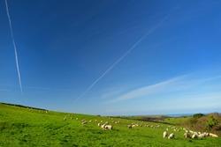Sheep grazing on scenic Cornish fields under clear blue sky, Cornwall, England, UK