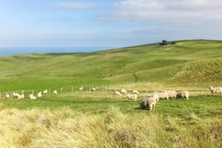 Sheep grazing on the Otago  Peninsula at Sandfly Bay out of Dunedin in the South Island of New Zealand.