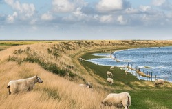 Sheep grazing on the sea dike of the North Sea in Denmark. Wadden Sea in Germany, Denmark and Netherlands is Unesco World heritage.