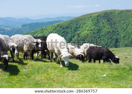 Sheep grazing on the slopes of Ukrainian Carpathians