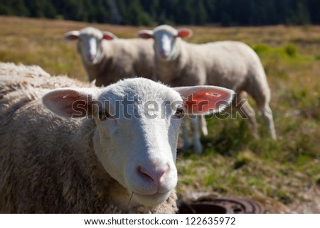 Sheep head with 2 other at background