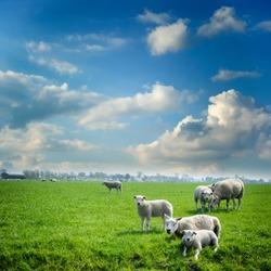 Sheep herd at green summer field