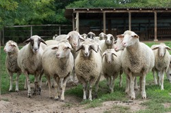 Sheep herd stand on farm land