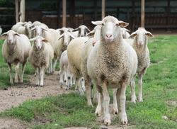 Sheep herd standing on farmland