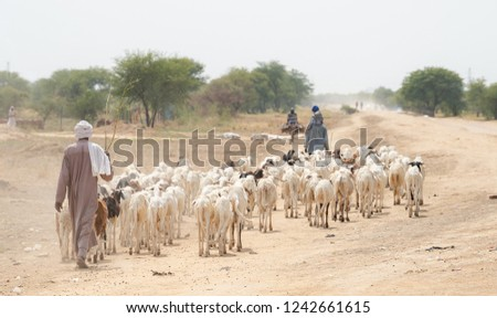 Sheep herder with herd of sheep in village in desert countryside. Chad N'Djamena travel, located in Sahel desert and Sahara. Hot weather in desert climate on the Chari river.