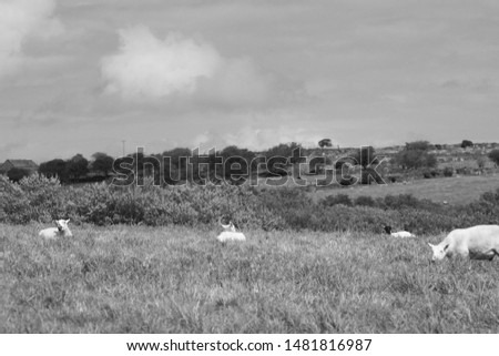 Sheep, in a field at Delphy bridge, Cornwall, some standing some not