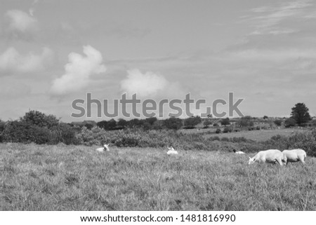 Sheep, in a field, some standing some not