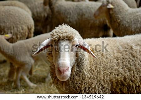 Sheep in a herd at a sheep farm