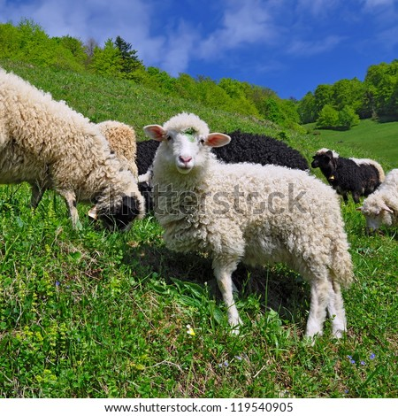 Sheep in a summer landscape.