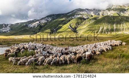 Sheep in Campo Imperatore Abruzzo Foto stock ©