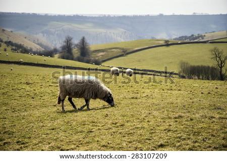 Sheep in farm landscape on sunny day in Peak District UK