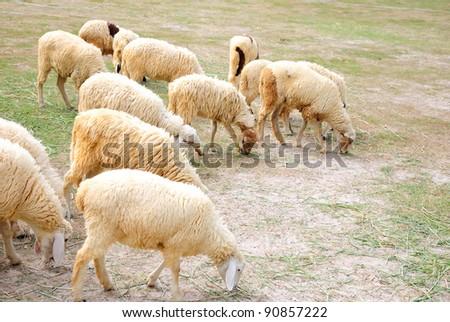 sheep in farm, thailand
