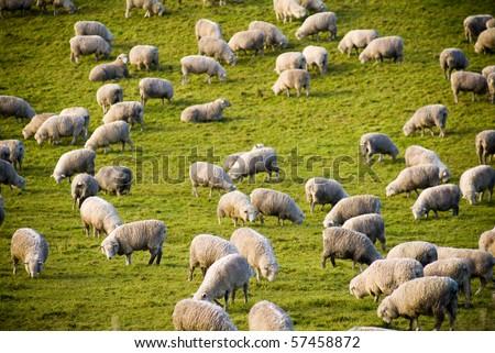 Sheep in field in New Zealand