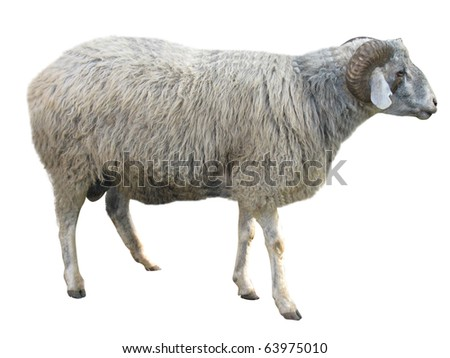 Sheep in front of a white background