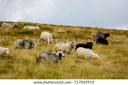 sheep in grass on mountain meadow #717069919