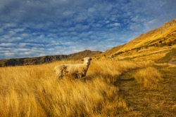Sheep in green mountain meadow, rural scene in New Zealand