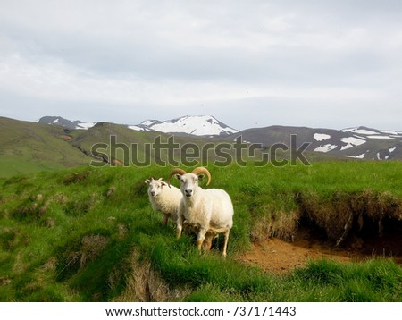 Sheep in Iceland. #737171443
