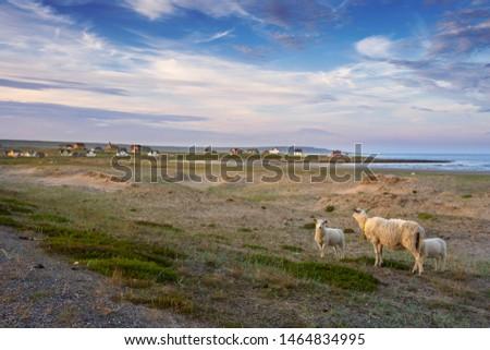 Sheep in idyllic landscape, Finnmark, Varanger peninsula, Norway #1464834995