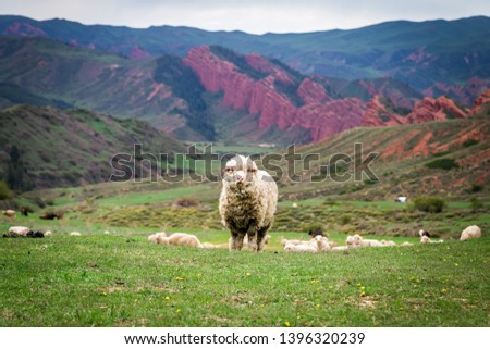 Sheep in Jeti-Oguz gorge - one of the picturesque gorges in Kyrgyzstan #1396320239