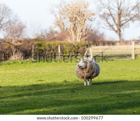 Sheep in meadow in Wales with very large amount of wool in round shape