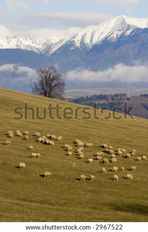 sheep in Tatras