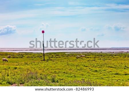 Sheep in the Danish Marsh at Sneum Sluse, Esbjerg