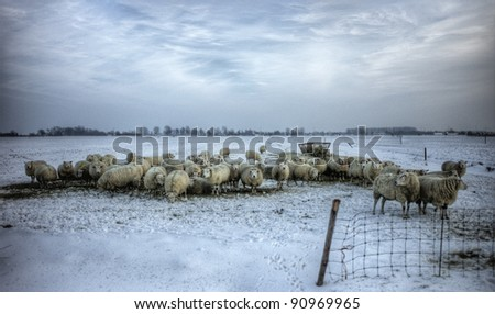 Sheep in the fields in a cold winter
