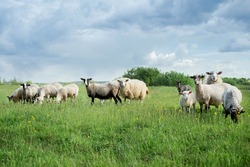 Sheep in the meadow. Sheep on the green grass. A flock of sheep. Farm